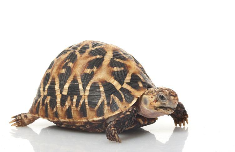 Baby Indian Star Tortoises For Sale Indian Star Tortoise Turtle Tortoise