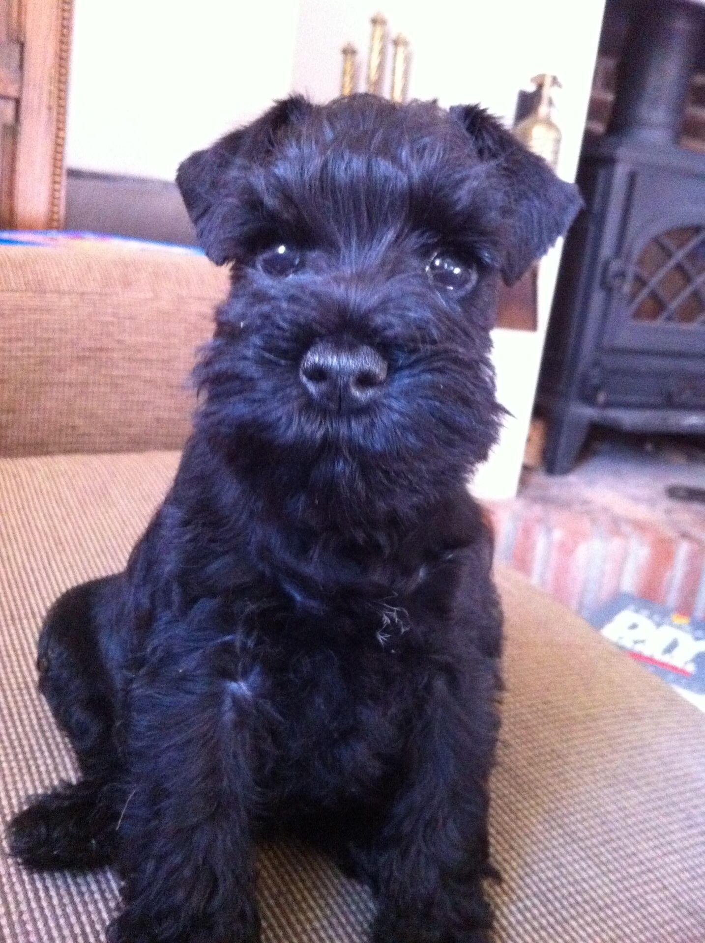 Miniature schnauzer Betty... Just 8 weeks old ️ ...