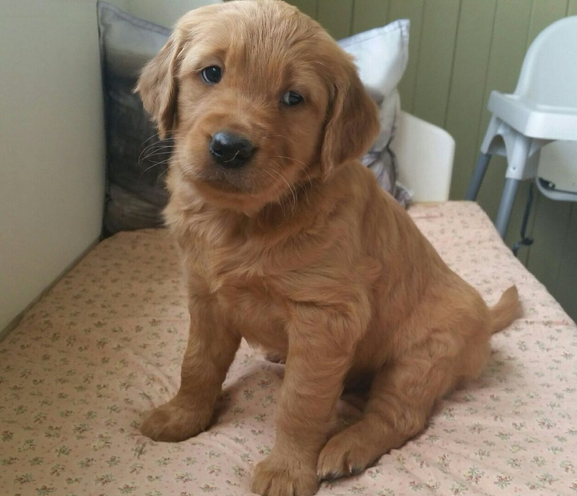 Oscar Dark Golden Retriever Puppy Golden Retriever Dark Golden Retriever Golden Retriever Puppy
