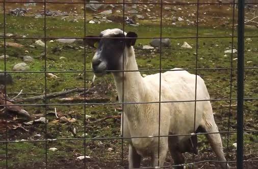 Buzzikito : funny goats screaming like humans Hahaha - YouTube  Mom Screaming Goats Funny