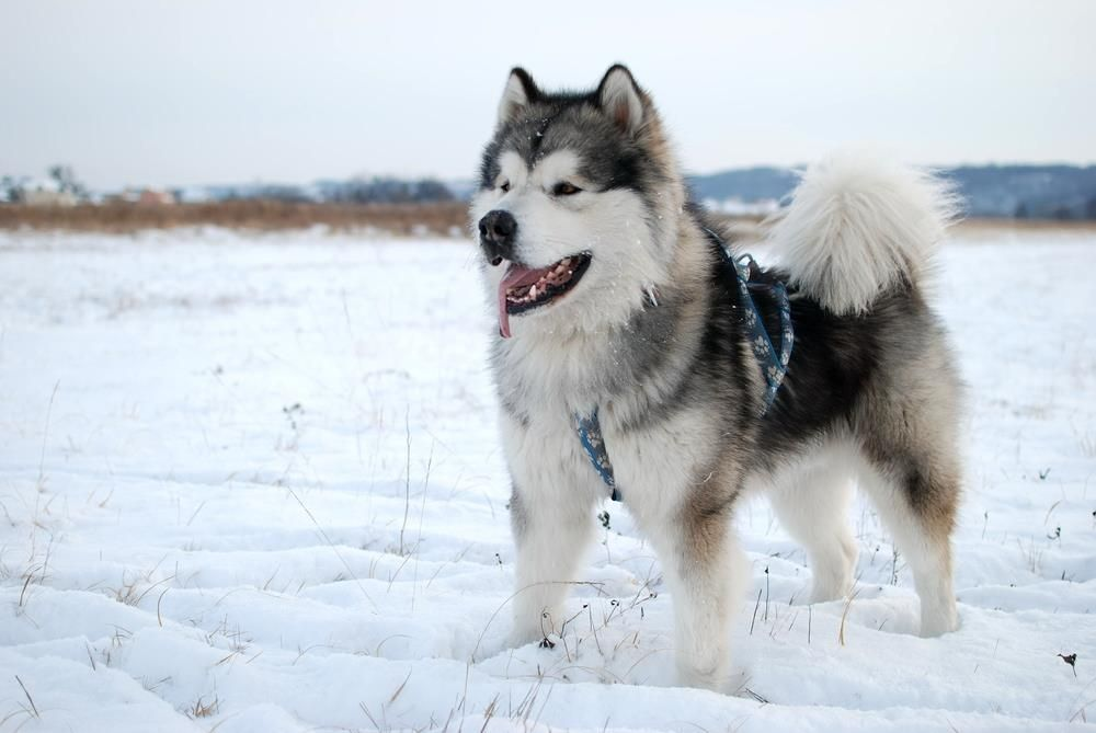 Alaskan Malamute Akita Dog Accessories Online Store Find The