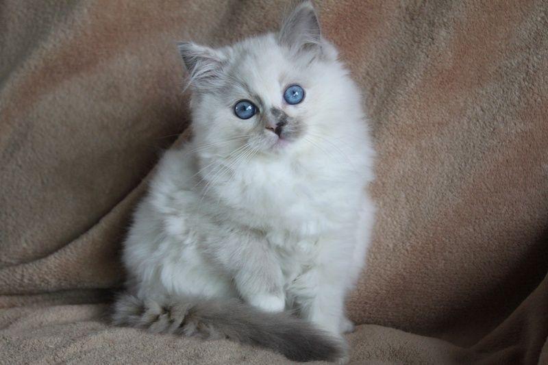 Blue Cream Tortie Mitted Baby Cream Cat Ragdoll Kitten Tortie