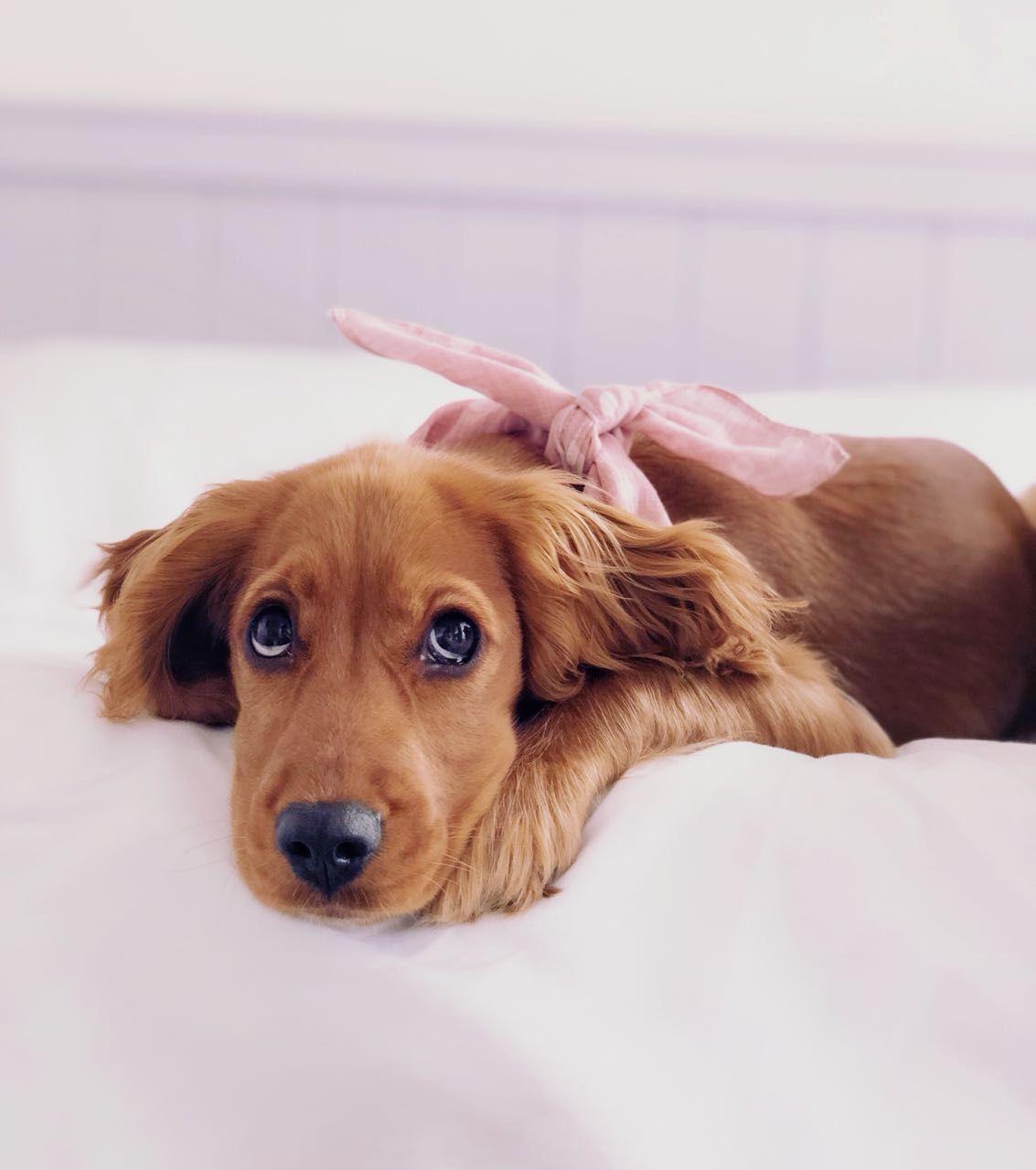 Cocker Spaniel Puppy Wearing A Pink Polka Dog Hunt Howlingmoon