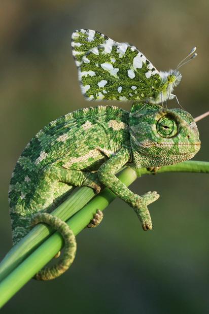 a chameleon on a Chameleon