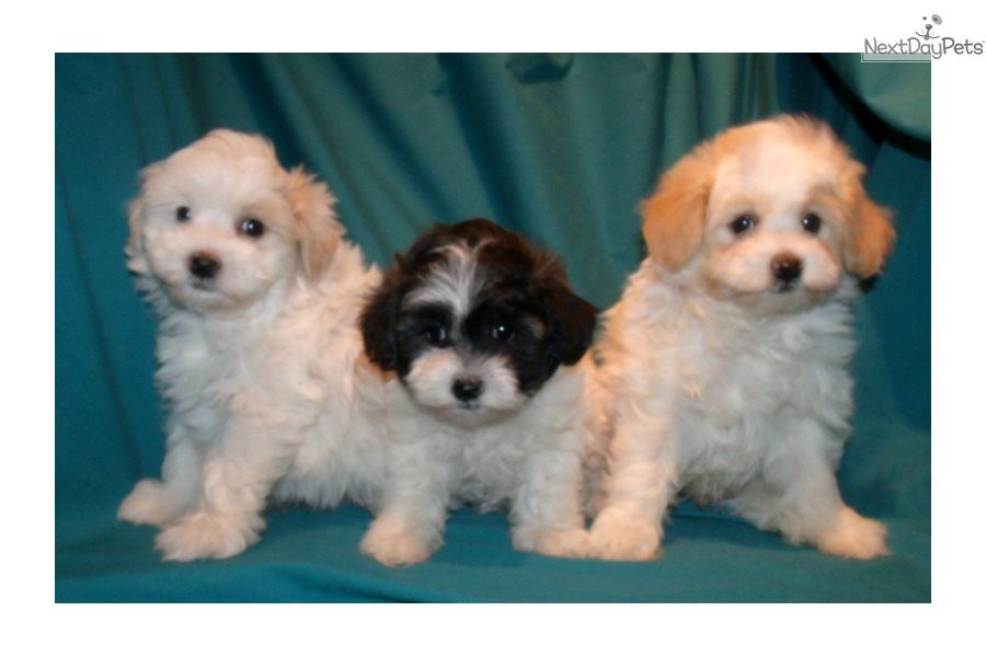 I Am A Cute Malti Poo Maltipoo Puppy Looking For A Home On