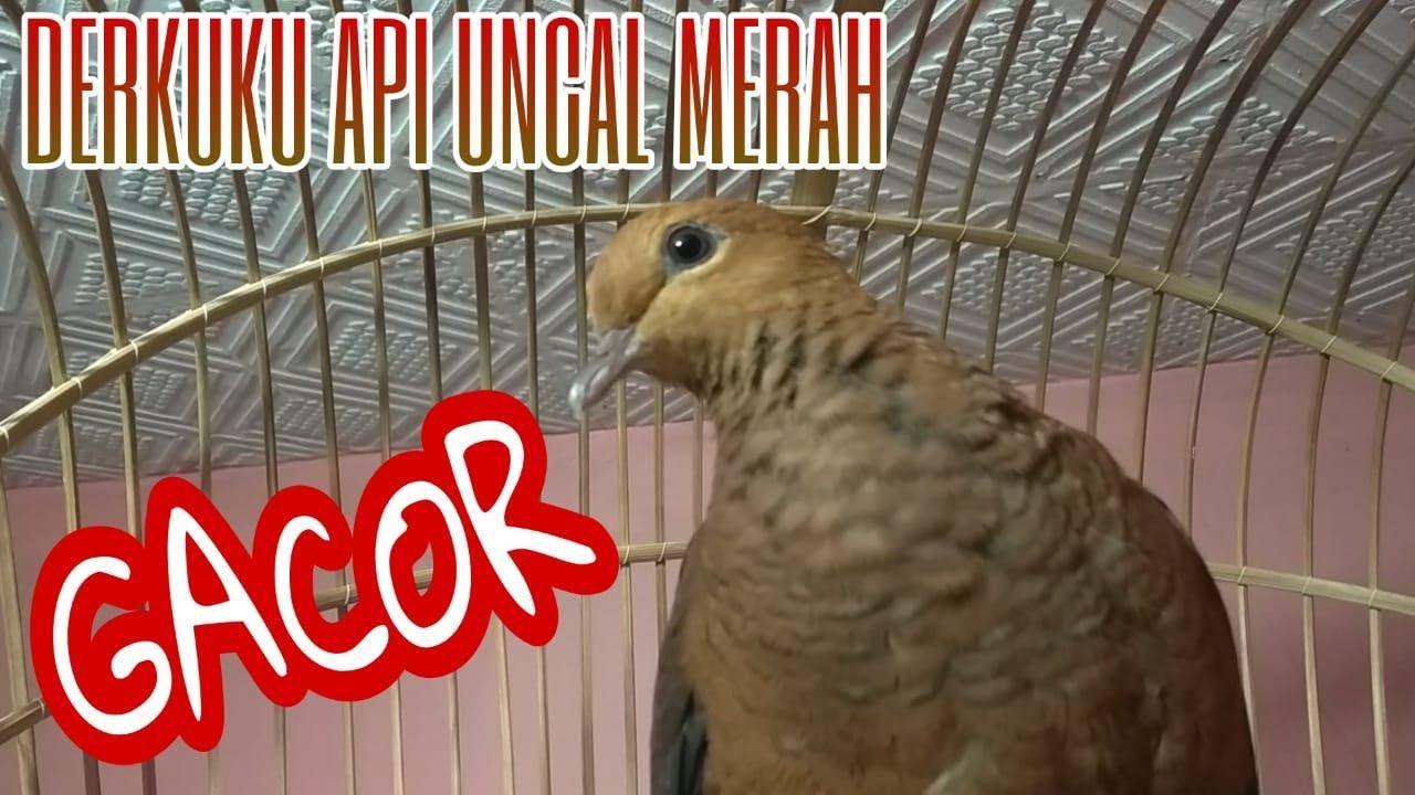 Burung Uncal Merah Gacor Bunyi Keras Khas Derkuku Api Cocok Untuk Pancin Burung Merah Cocok