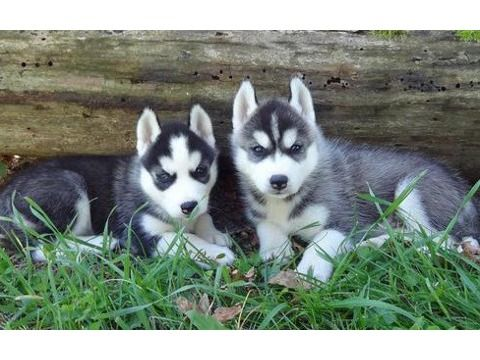 Resino Love Siberian Husky Puppies For Free Adoption Husky