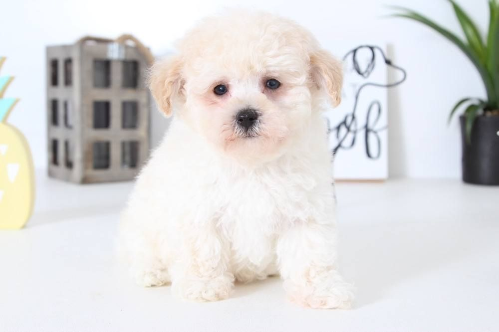 Cotonchon puppies puppies for sale cute puppies