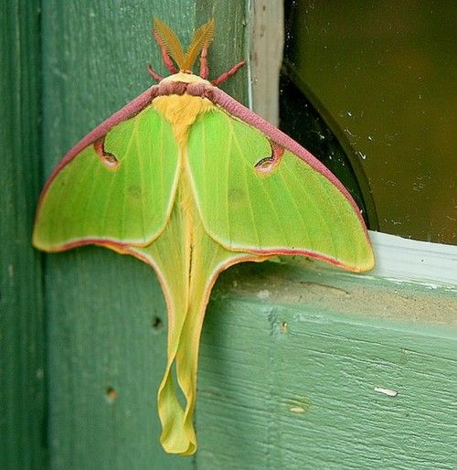 Pin By Kristine On Entomology Moths With Images Moth Luna Moth Animals Beautiful