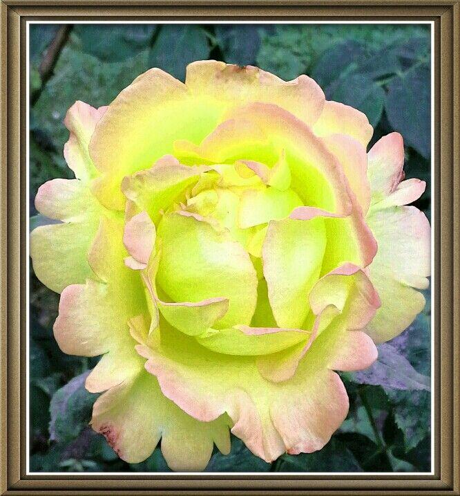 Rose Photo by Raroearth