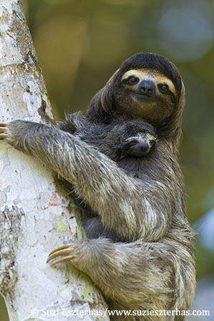 Für viele Faultiere ist das Sloth Sanctuary in Costa Rica zur Heimat geworden. Sie sind eine Gattung der zahnlosen Säugetiere und daher verwandt mit Gürteltieren und Ameisenbären.