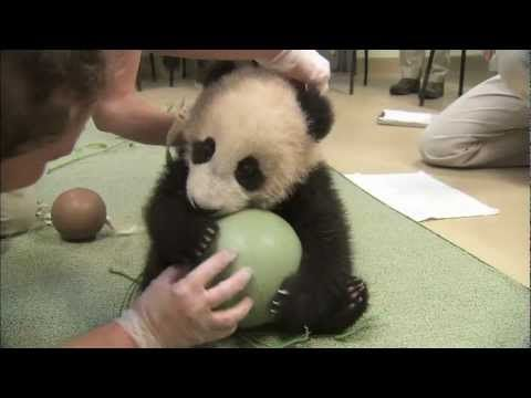 Panda Cub Has a Ball - Xiao Liwu's 18th Exam - he also plays with a log a bit. Would love to get to snorggle that tummy!