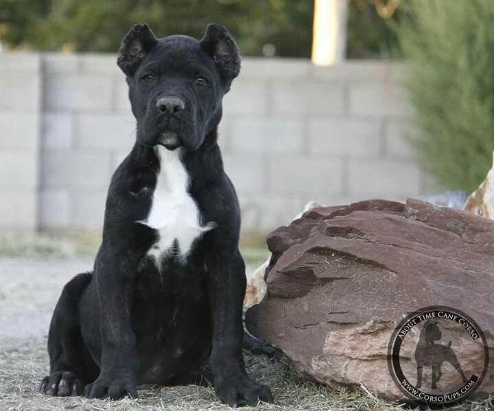 About Time Cane Corso Italiano Cane Corso Cane Corso Dog Breed Cane Corso Dog