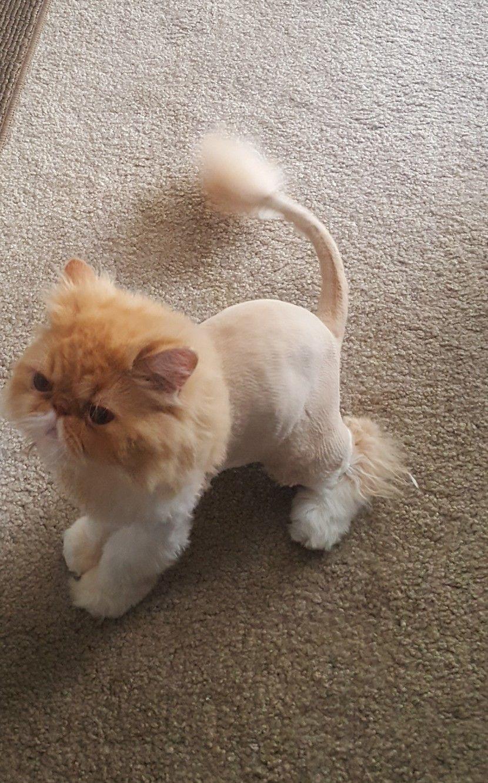 Aggressive Persian Cat Gets A Lion Cut - Скачать бесплатно mp3