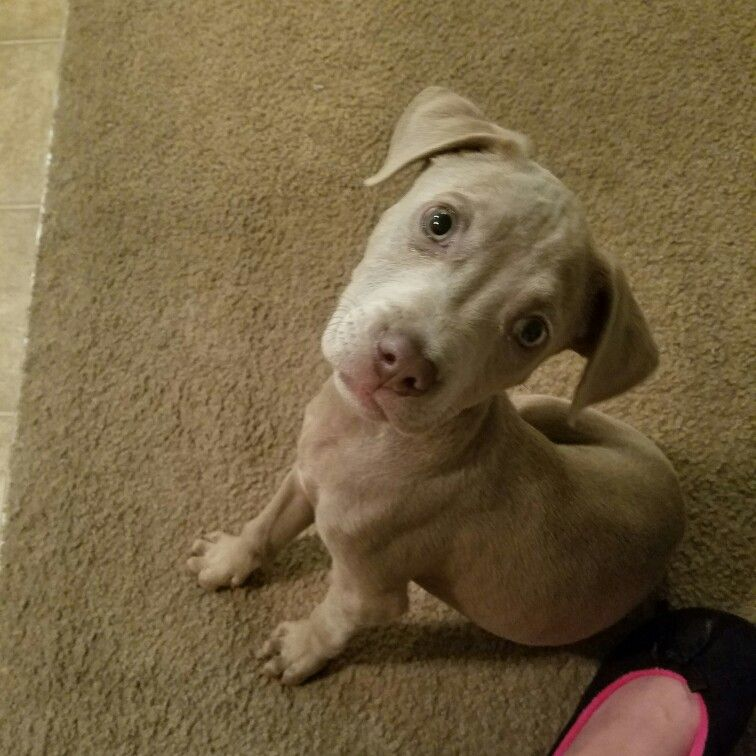 About 6 weeks old in this picture blue fawn pitbull