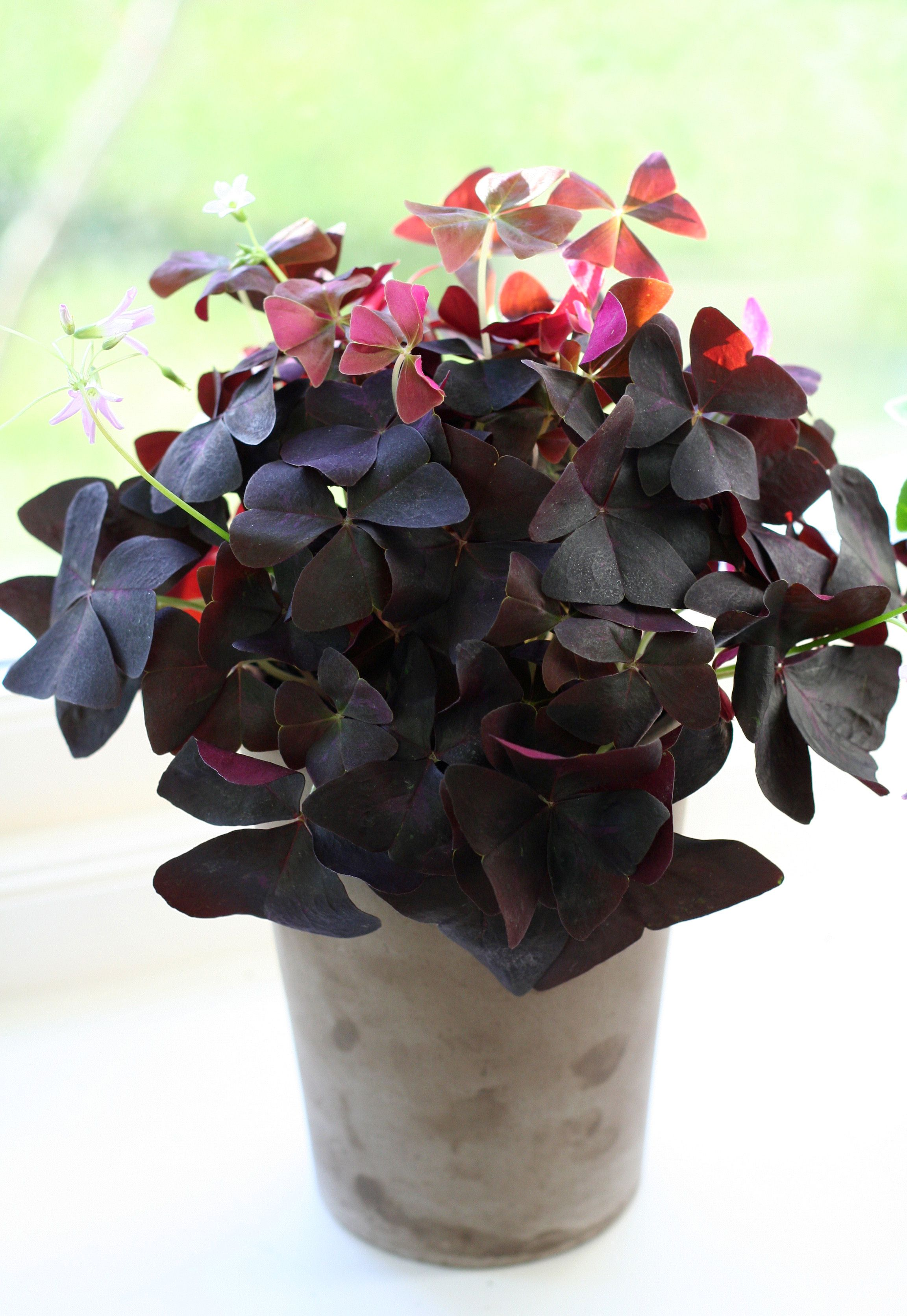 explore clover plant houseplants and more - Flowering House Plants Purple