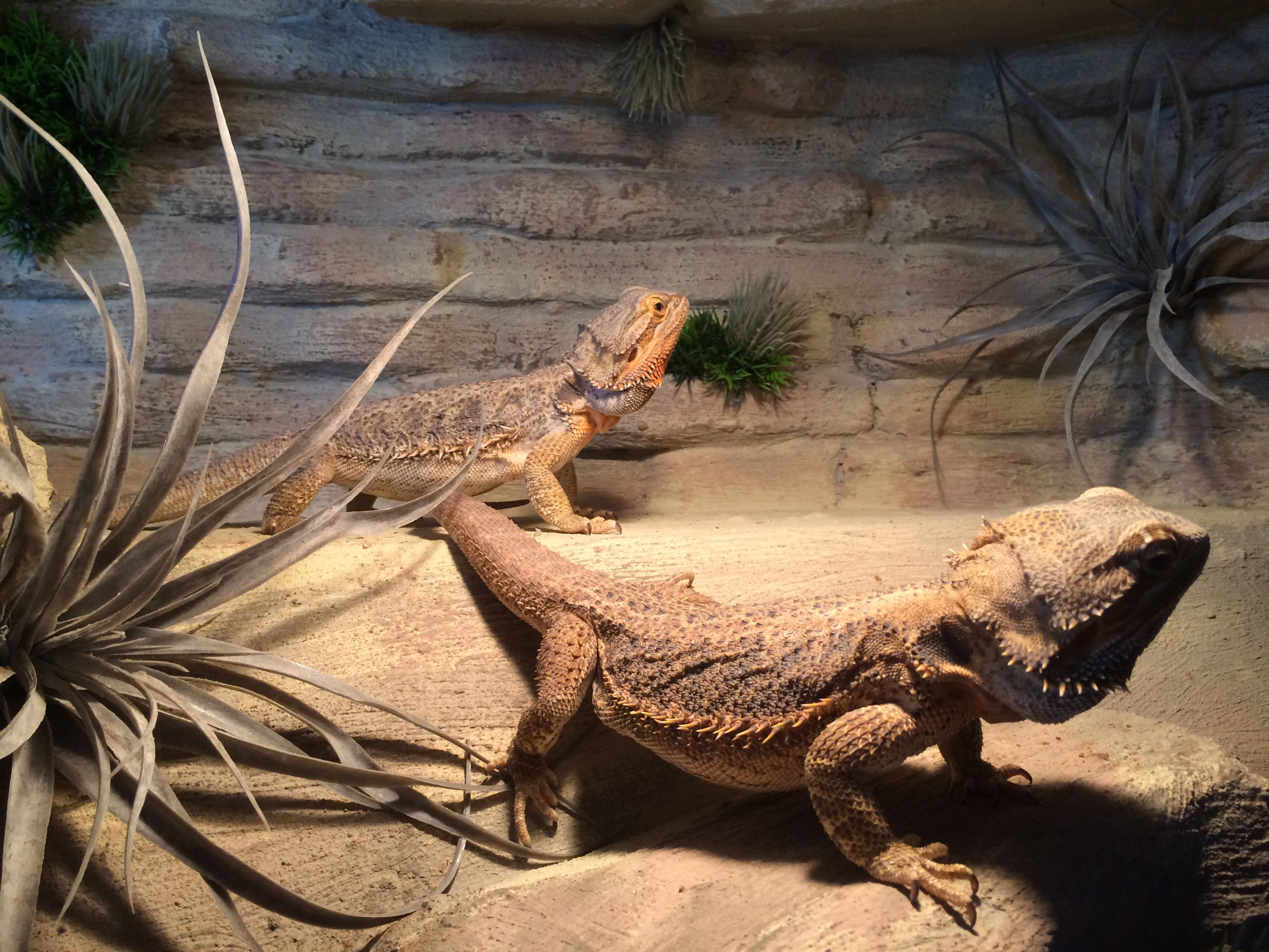 Bearded Dragons In There New Environment 両生類 爬虫類 アニマル
