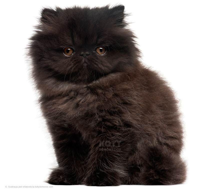 Kot Jednobarwny To Najstarsza Rodowodowa Rasa Czarny Pers Jest