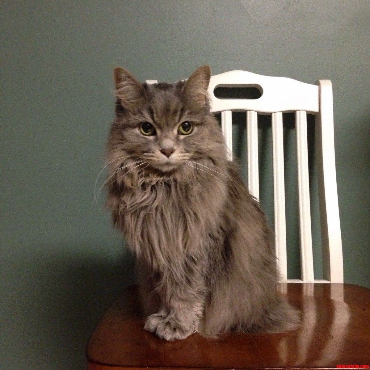 Pictures of half persian cats
