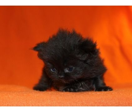 kittens for sale in pa - Google Search