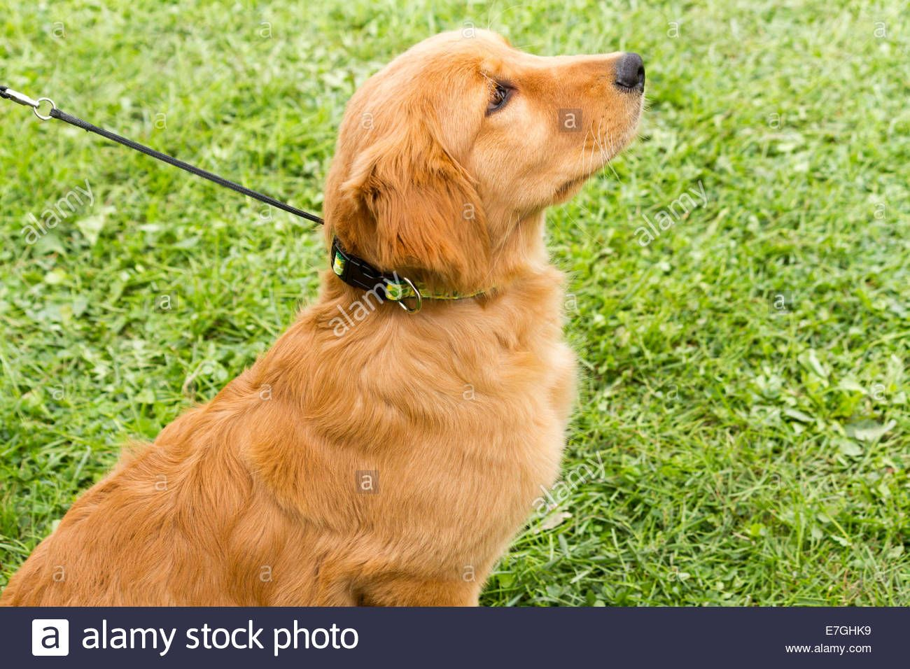 How to train a golden retriever puppy this breed is