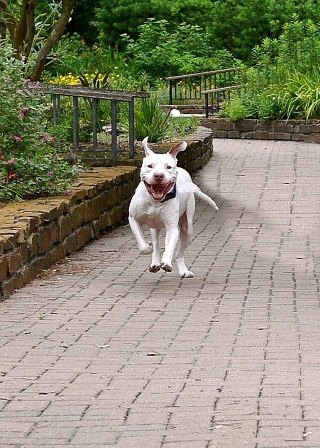Adopt Duke On Bulldog Dog American Bulldog Terrier Mix Dogs