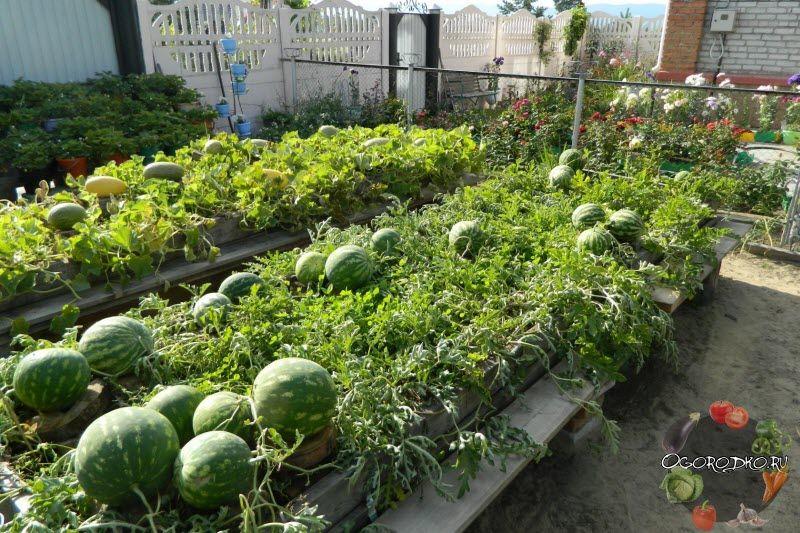 Как вырастить арбуз, чтобы сладкий был и большой? Чем подкормить, как поливать, когда прищипывать арбуз и как, а также…
