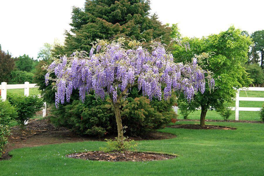 Purple Wisteria Wisteria Tree Purple Wisteria Plants