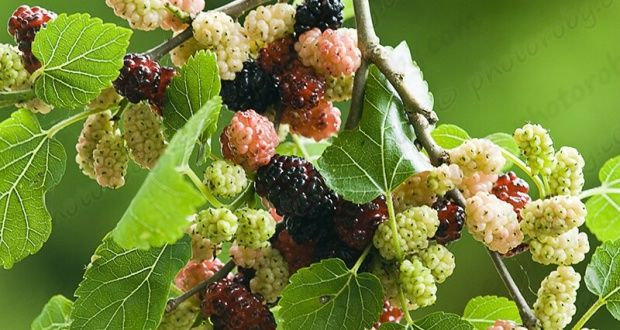 e0b5a24a5c Benefits of Mulberry In China, mulberry trees are used not just to feed  silkworms for the silk industries, but also eaten for its extraordinary  health ...