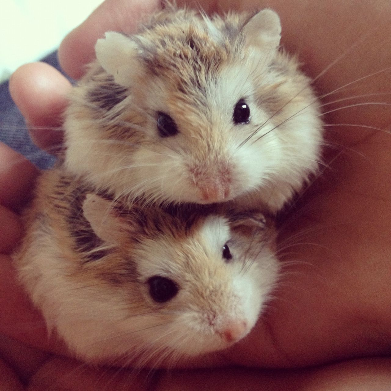 Henry the hamster on Pinterest Hamsters, Hamster Cages
