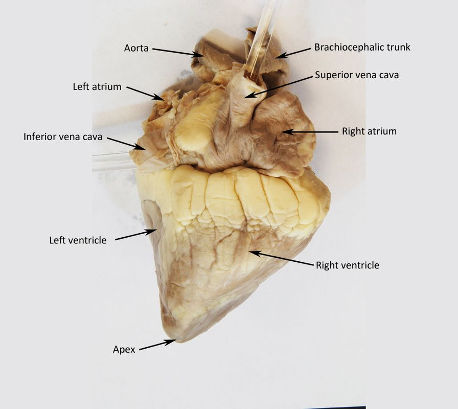 Image result for sheep heart labeled | Anatomy and Physiology ...
