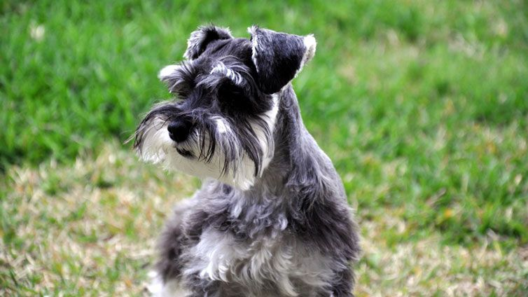 Shih Tzu Dog Breeds That Dont Shed Shih Tzu Dog Dog Breeds