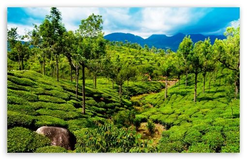 Green Tea Field Kerala India Hd Desktop Wallpaper High Definition Fullscreen Mobile Dual Monitor Tourist Spots Kerala Tour Packages