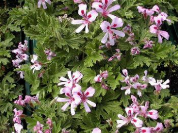 Blooming Citronella Geranium Plant Geranium Plant Mosquito