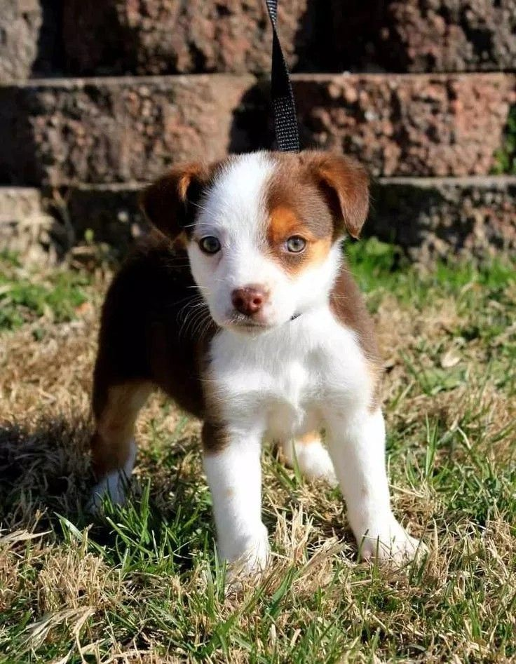 Jack Russel Australien Shepherd Mix Hunde Niedliche Welpen Hund Beagle Und Welpen