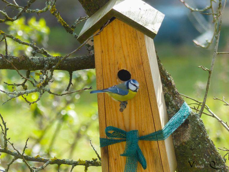 Und nun gibts eine Blaumeisen-Familie im Garten