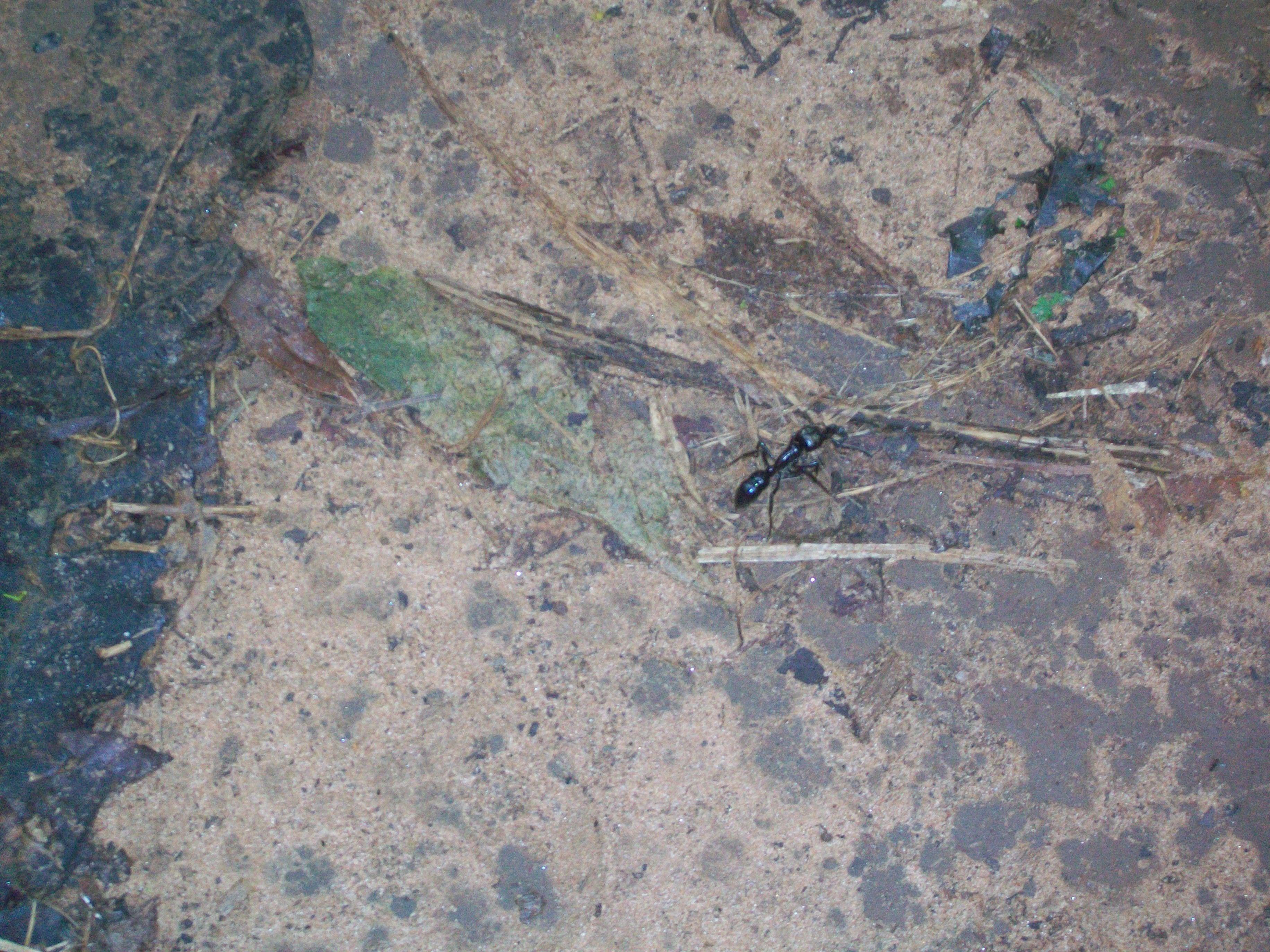 Sendero Macuco. Selva. Hormigas