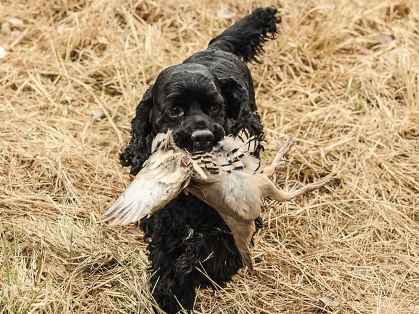 It is generally accepted that spaniels originated in Spain, with the earliest literary mentions of the breed dating back to the 1300s.