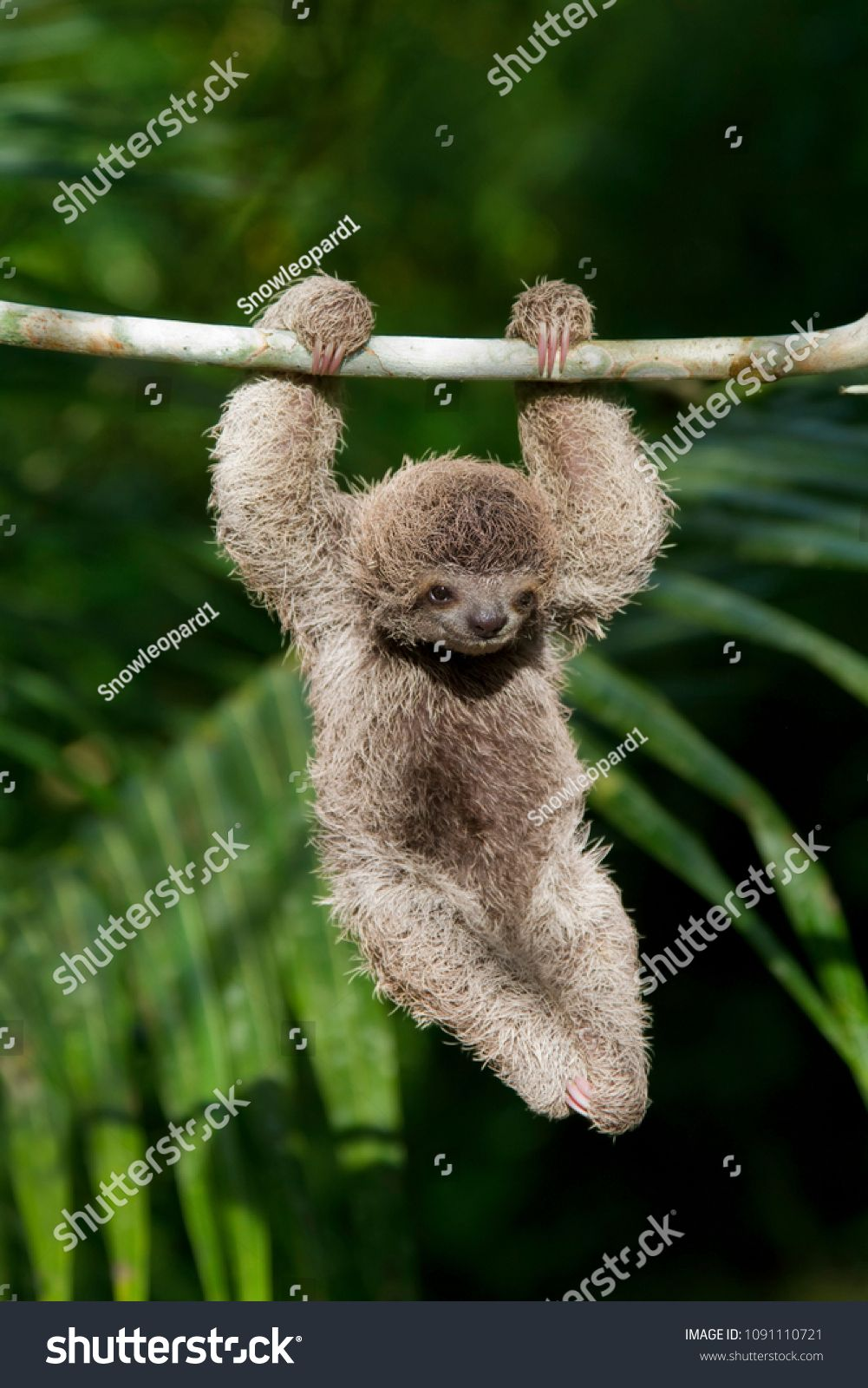 Cute Baby Sloth Hanging From Tree Branchsloth Baby Cute Branch Cute Baby Sloths Baby Sloth Cute Babies