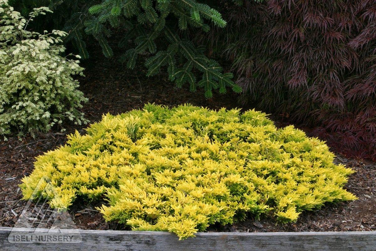 Juniperus horizontalis Gold Strike Dwarf Golden Creeping Juniper