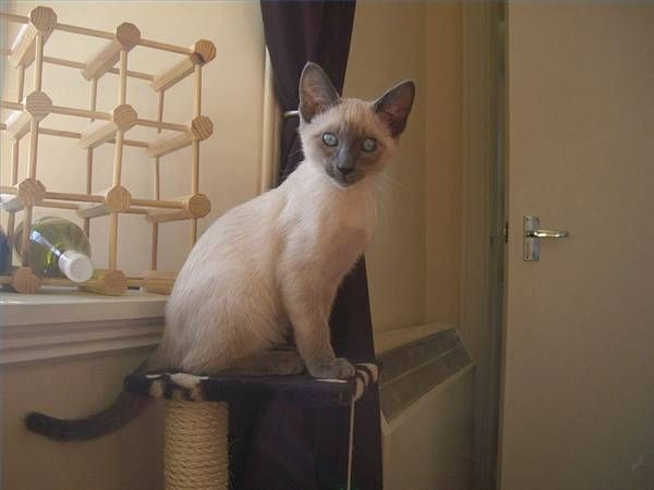 How To Take Care Of Siamese Kittens Siamese Kittens Siamese Kittens