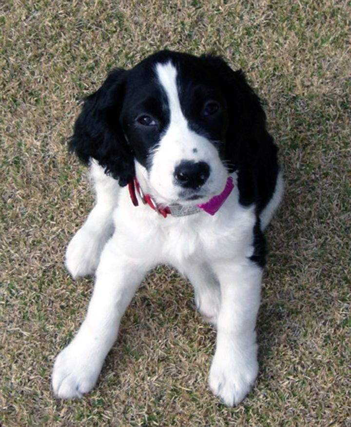 English Springer Spaniel Black And White Puppy Lexie Spaniel Puppies Springer Spaniel Puppies Springer Spaniel