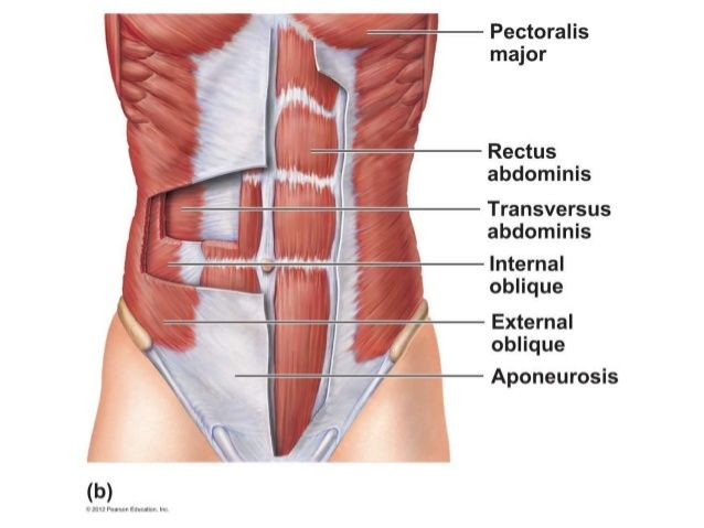 abdominal muscles - google search | muscle targets | pinterest, Human Body