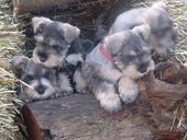 Miniature Schnauzer Puppies For Sale Perth Wa Australia Miniature Schnauzer Puppies Schnauzer Puppy Puppies For Sale