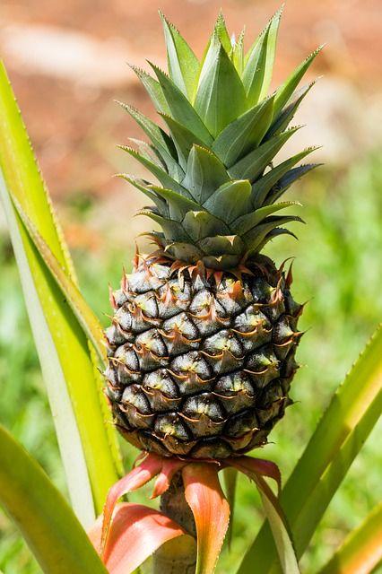 pineapple fruit, buah nanas, Ananas comosus