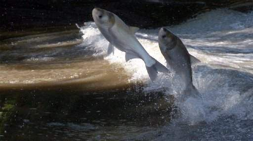 Why its so important we continue our work to keep Asian Carp out of our great lakes.