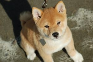 Mango At The Beach 10 Weeks 3 Days Shiba Puppy Japanese Dogs Dogs