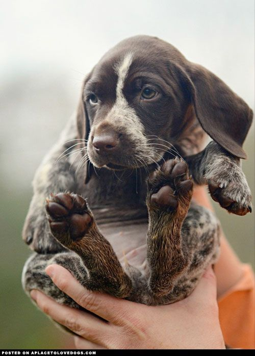 Aplacetolovedogs A Handful Of Awwwwdorable And Cute Puppy I Ll Take Two Handfuls Please German Shorthair Pointer Pup Cute Animals Animals Cute Dogs