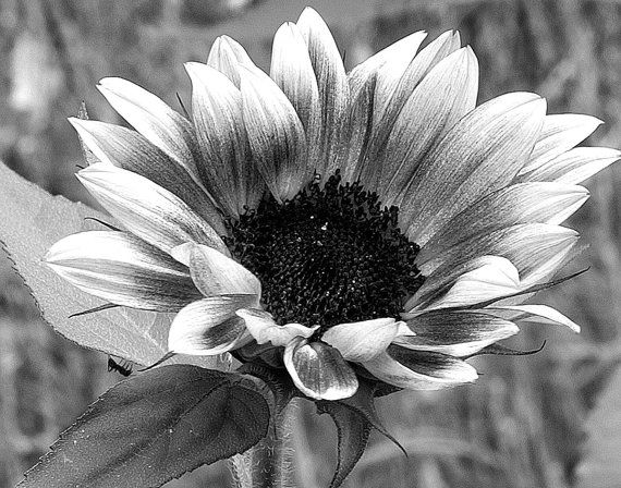 Sunflower sunflowers and ant sunflower art black white photography print 16x20 11x14 8x10 5x7 on etsy