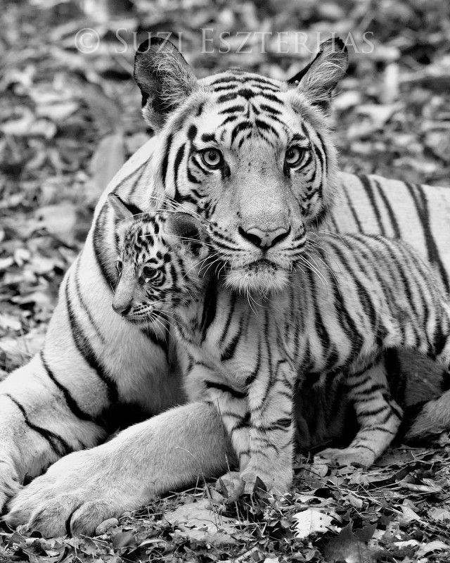 Mom and baby animals photo set black and white from baby animal prints by